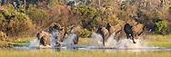Okavanga Delta Elephants