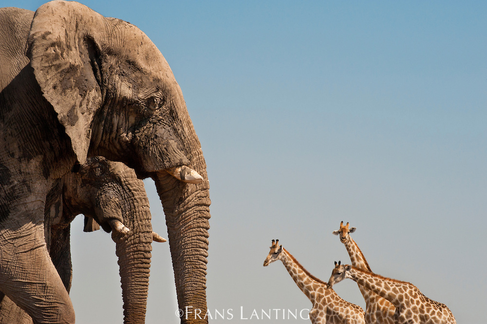 Elephants, Loxodonta africana, and giraffes, Giraffa camelopardalis, Etosha National Park, Namibia