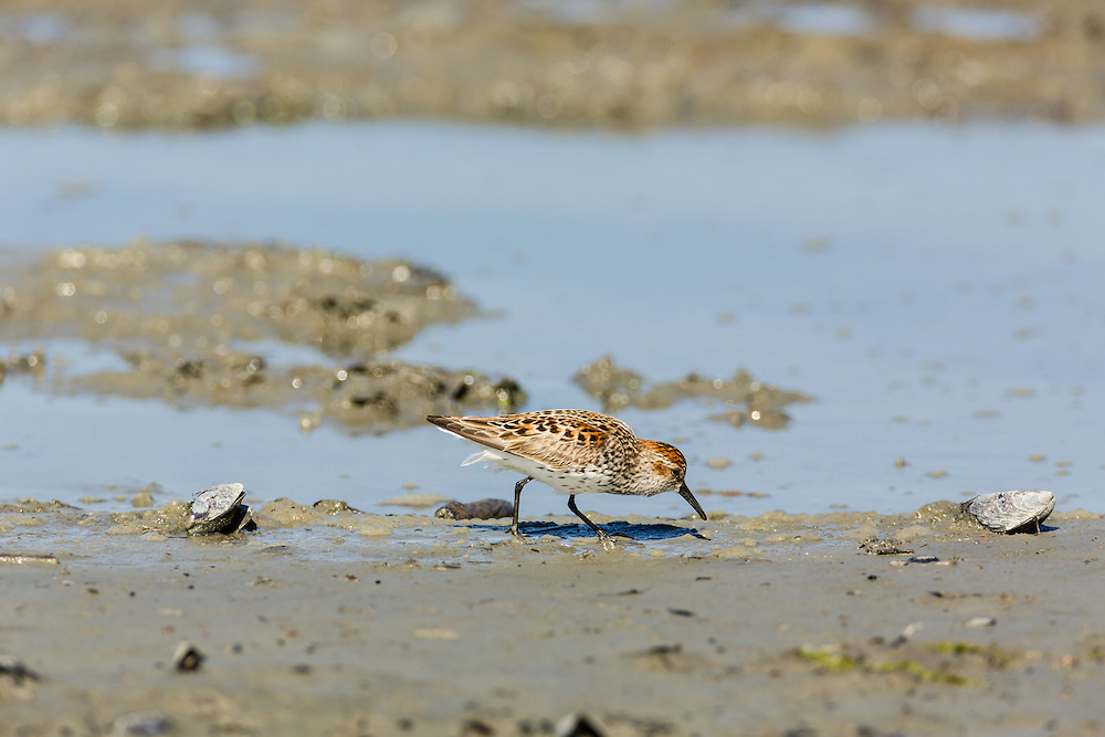 A Western Sandpiper (Calidris mauri) forgages in Mud Bay which is part of Kachemak Bay near the Homer Spit in Southcentral Alaska during its spring migration to the arctic. Afternoon.