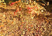 Fallen autumn leaves of Japanese maple tree, acer palmatum, National arboretum, Westonbirt arboretum, Gloucestershire, England, UK