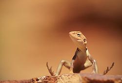 Australia, Northern Territory, Watarrka National Park, ring-tailed dragon (Ctenaphorus caudicinctus)