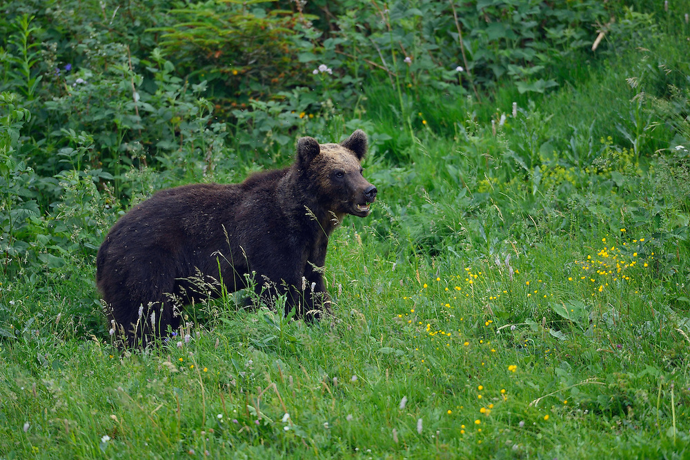 Eurasian brown bear, Ursus arctos, at wildlife watching place, North Velebit National Park,  Velebit Nature Park, Rewilding Europe rewilding area, Velebit  mountains, Croatia
