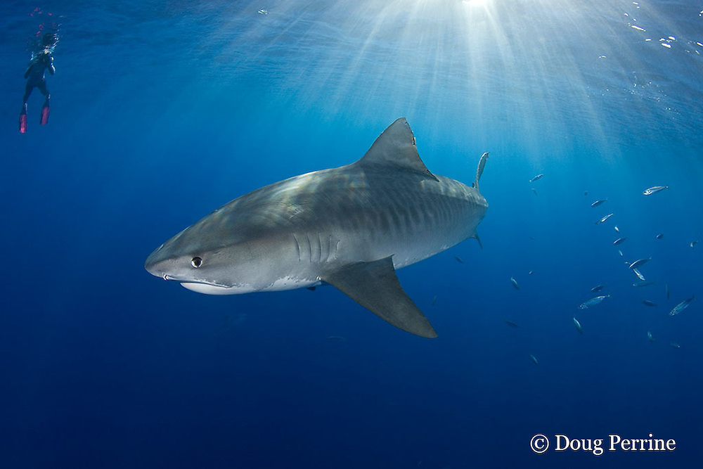 underwater photographer, tiger shark, Galeocerdo cuvier, and opelu or mackerel scad, Decapterus macarellus, North Shore, Oahu, Hawaii, USA ( Central Pacific Ocean ) MR 389