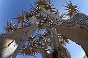 Koecherbaum | Quiver tree (Aloe dichotoma), Namib-Naukluft National Park. Der in afrikaans genannte Kokerboom wird bis 8 Meter hoch und ist ein Wahrzeichen Namibias. Namib Desert sand dune; shot digital: 14,03inch x 9,317inch at 300 Pixel\inch