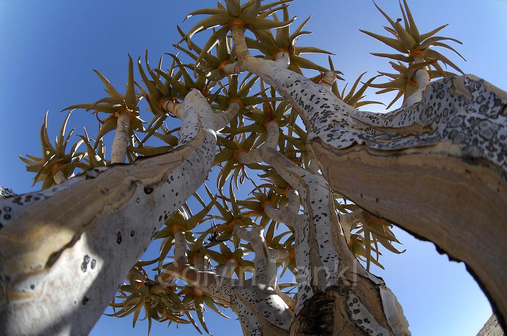 Koecherbaum   Quiver tree (Aloe dichotoma), Namib-Naukluft National Park. Der in afrikaans genannte Kokerboom wird bis 8 Meter hoch und ist ein Wahrzeichen Namibias. Namib Desert sand dune; shot digital: 14,03inch x 9,317inch at 300 Pixel\inch