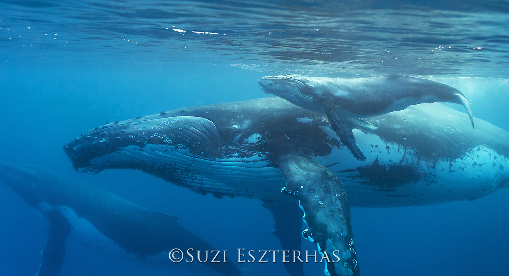 Humpback Whale<br /> Megaptera novaeangliae<br /> Mother and newborn calf (days old)<br /> Tonga, South Pacific