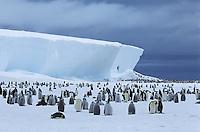 Emperor Penguin (Aptenodytes forsteri) colony and iceberg