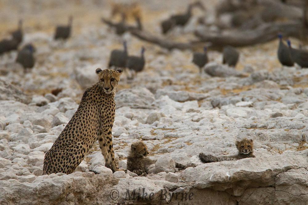 Cheetah mom and two kittens (Acinonyx jubatus) in Etosha National Park, Namibia.
