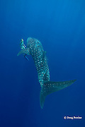 whale shark, Rhincodon typus and free diver, Kona Coast, Hawaii Island ( the Big Island ), Hawaiian Islands, USA ( Central Pacific Ocean ) MR 360