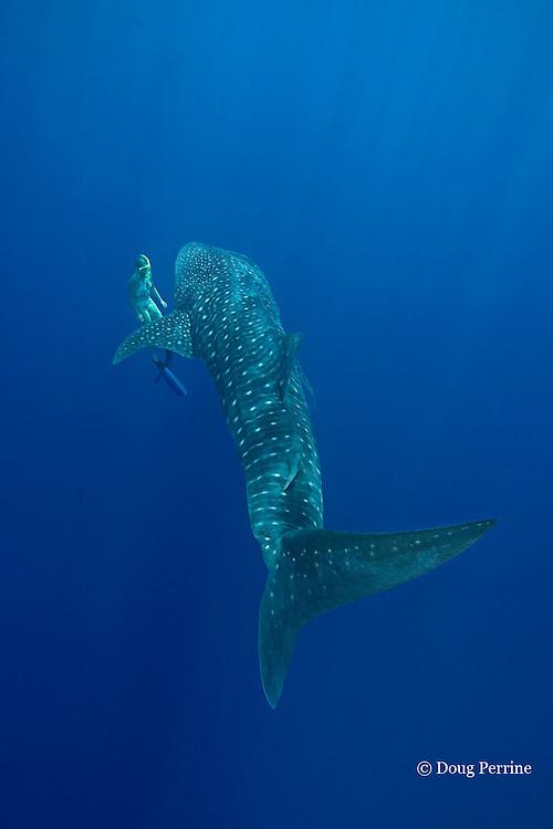 whale shark, Rhincodon typus and free diver, Kona Coast, Hawaii Island ( the Big Island ), Hawaiian Islands, USA ( Central Pacific Ocean ) MR 360