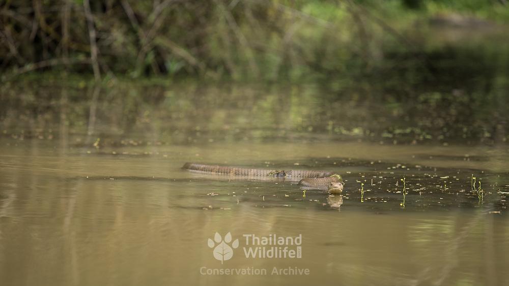 King Cobra (Ophiophagus hannah) swimming in situ in Kaeng Krachan national park, Thailand