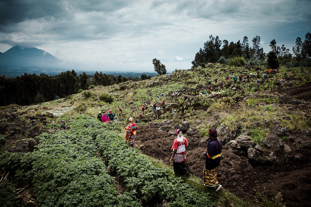 Women who part of the co-operative Indatwailumurimu, make their way into the fields to harvest potatoes close to their village. Shingiro District, Rwanda