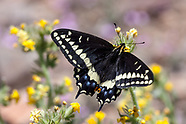 Papilio indra phyllisae - Phyllis' Swallowtail