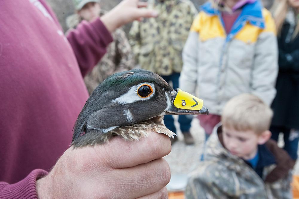 Wood Duck, Aix sponsa, female, tarsal band & geolocator nasal tag, Churchill County, Nevada