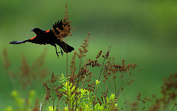 A red wing Blackbird takes flight over the swamps and bogs of Erie National Wildlife Refuge Seneca Division near Meadville.