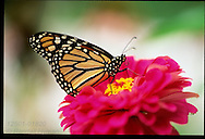 Monarch butterfly (Danaus plexippus) drinks nectar from bright purple zinnia flower; St. Louis, Missouri