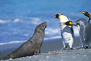 King Penguins & Antarctic Fur Seal<br /> (Aptenodytes patagonicus) & (Arctocephalus gazella)<br /> Prion Island,<br /> SOUTH GEORGIA