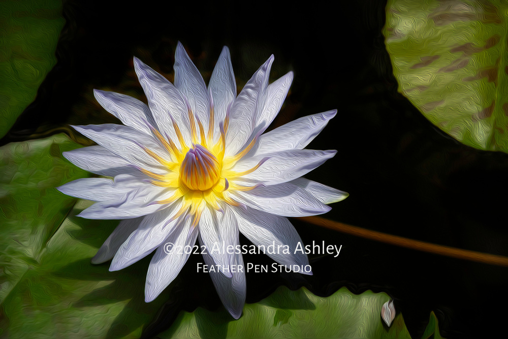 Waterlily, Conservatory of Flowers, Golden Gate Park, San Francisco. Oil paint effects blended with original photo.