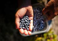 Hiking for blueberries up Piper Mountain.  ©2016 Karen Bobotas Photographer
