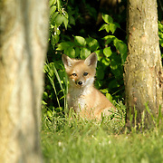 A baby red fox, also known as a kit, enjoys a spring afternoon out of its den with its mother and siblings near a subdivision in southern Fayette County in Lexington, Ky., on April 25, 2012. Photo by David Stephenson