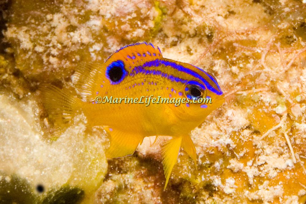 Longfin Damselfish, juvenile, generally inhabit reefs between 15-80 feet in Tropical West Atlantic; picture taken Little Cayman.