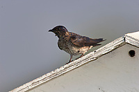 Male Purple Martin (Progne subis), on nesting box Wakodahatchee Wetlands, Delray Beach, Florida   Photo: Peter Llewellyn