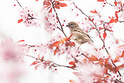 House Sparrow perched on a beautiful blossom tree.