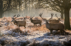 © Licensed to London News Pictures. 28/12/2017. London, UK. Stags gather in a frosty Richmond Park. Tonight is predicted to be the coldest night of the year with temperatures as low as minus 15 °C in some parts of the UK. Photo credit: Peter Macdiarmid/LNP