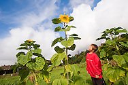 Boy in an allotment the the sunflowers he has grown, Carnoustie, Scotland