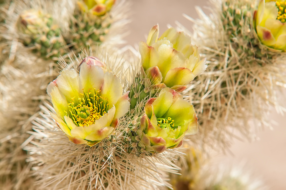 Early April in the Joshua Tree National Park is a great time for photographing blooming cacti. Some parts of the Mojave contain vast groves of certain species, such as this teddybear cholla, which will seemingly burst into flower all at once, creating a brightly colorful paradise in the middle of the desert.
