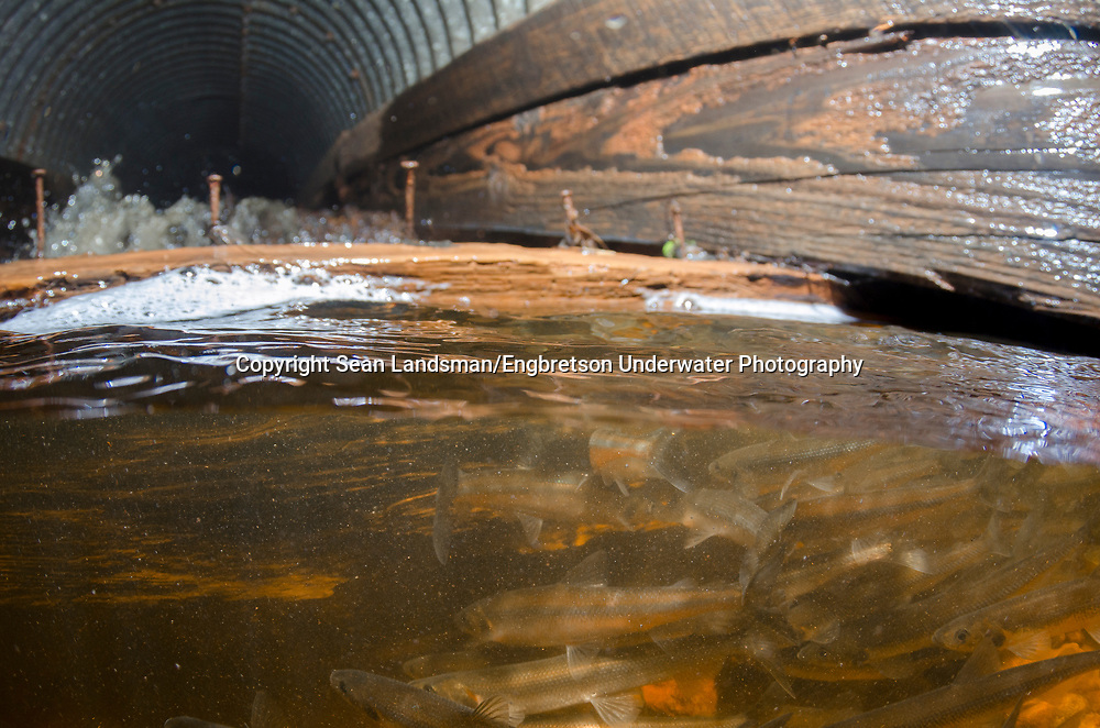 Rainbow Smelt (trying to navigate a culvert to move upstream)<br /> <br /> Sean Landsman/Engbretson Underwater Photography