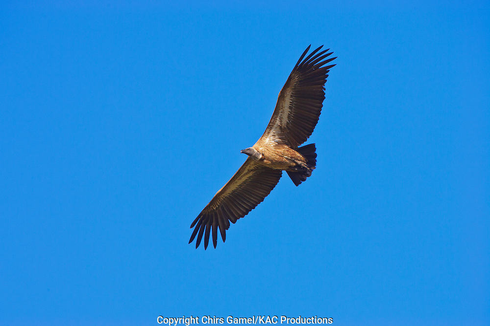 White-backed Vulture (Gyps africanus) flying against a blue sky, Serengeti National Park, Tanzania Africa; near threatened species; old world vulture; scavenger; social species