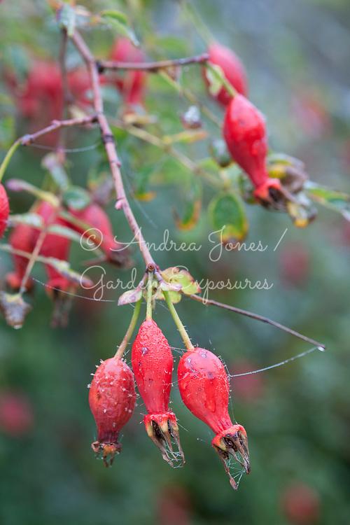 Rosa moyesii rosehips