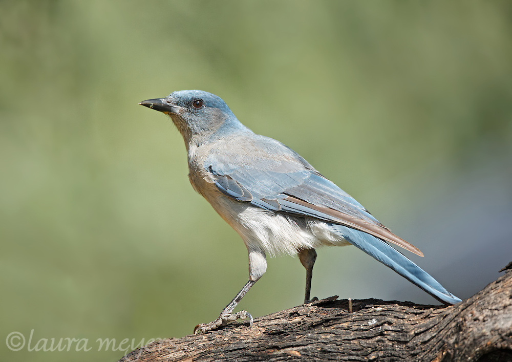 Mexican Jay on branch photographed in Hereford, Arizona