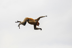 A proboscis monkey (Nasalis larvatus) in mid-air jumping across the Sekonyer river in Tanjung Puting National Park, Central Kalimantan, Borneo, Indonesia