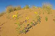 Sunflowers on sand dunes of the Carberry Desert<br /> Spruce Woods Provincial Park<br /> Manitoba<br /> Canada