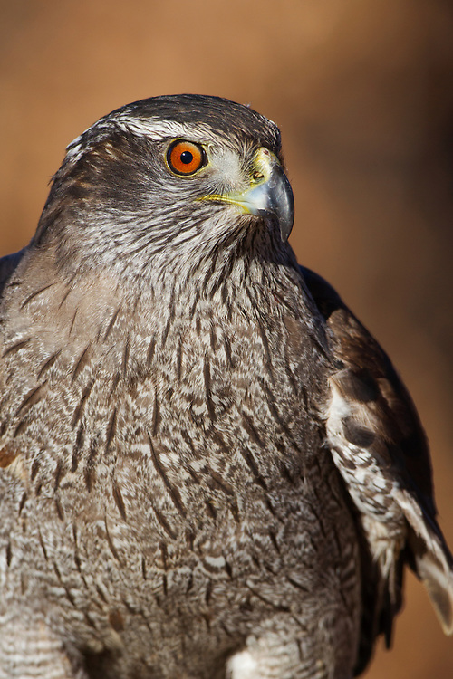 Stock photo of captive Northern Goshawk captured in Colorado.  This is the largest and most aggressive of the three woodland accipiters.  Hunts by chasing and surprising it's prey. The main food source is the snowshoe hare.
