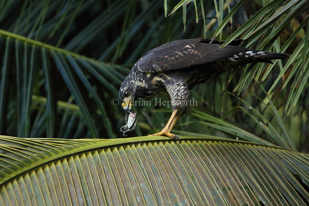Immature great black hawk (Buteogallus anthracinus) eating green turtle hatchling (Chelonia mydas). Tortuguero National Park, Costa Rica.