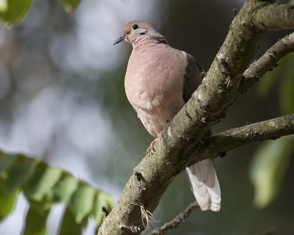 Zenaida auriculata, Ecuador