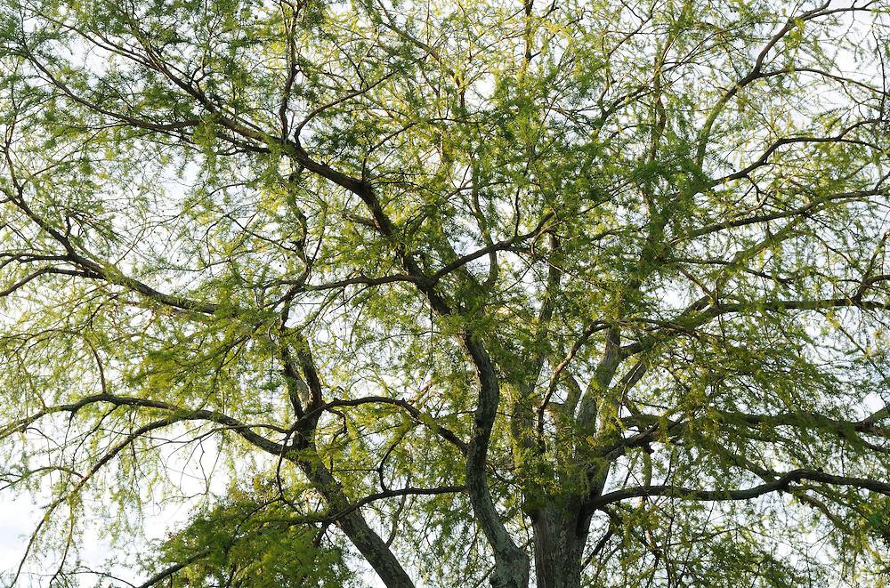 France, Languedoc Roussillon, Gard, Cevennes, Anduze, Prafrance, La Bambouseraie, arbre, Taxodium distichum, Cyprés chauve