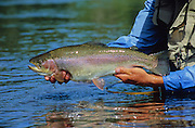 08637-P. Releasing a rainbow trout on the Little Snake River, Colorado.