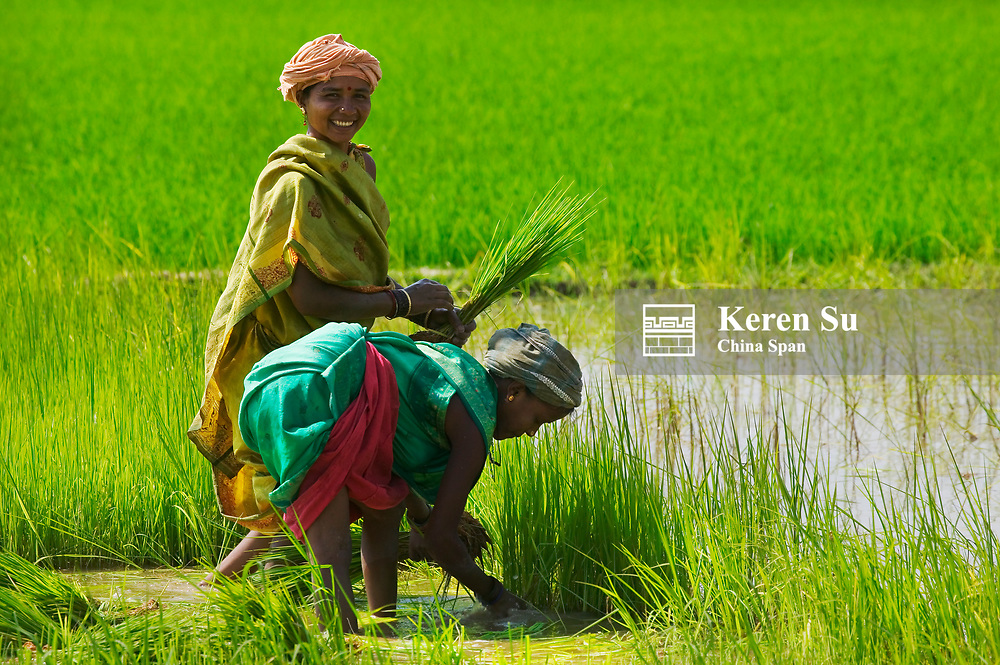 Woman dressed in colorful saris transplanting rice seedlings in the rice paddy, Orissa, India