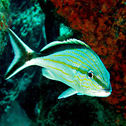 Cottonwick inhabit reefs in Tropical West Atlantic; picture taken Tobago.