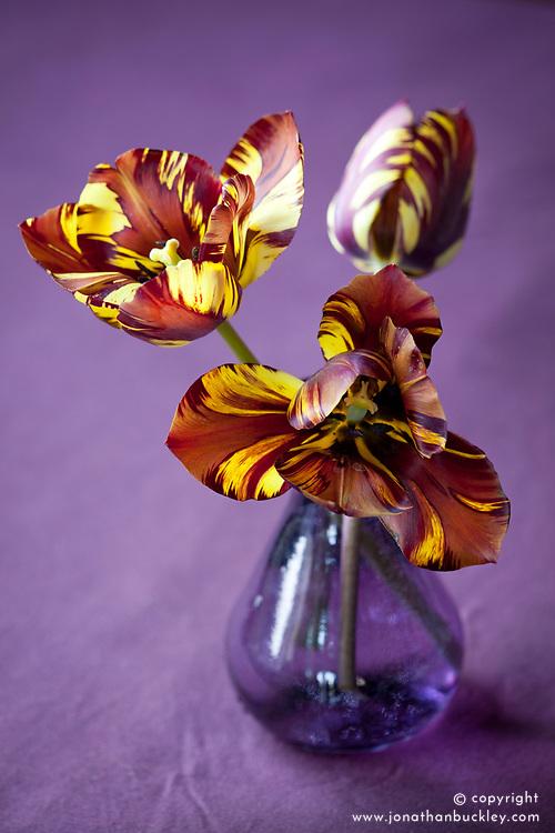 Tulipa 'Absalon' in a purple vase