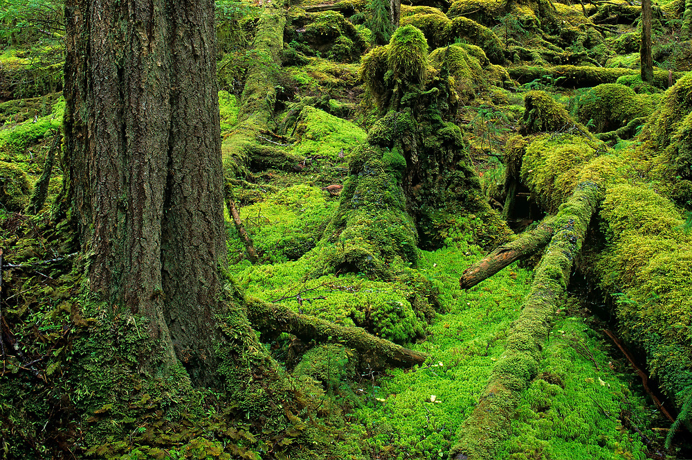 USA, Alaska, Tongass National Forest, Green moss covers floor of old growth rainforest on West Brothers Island