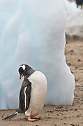 Gentoo penguin on the beach with ice sculptures are in the back ground.