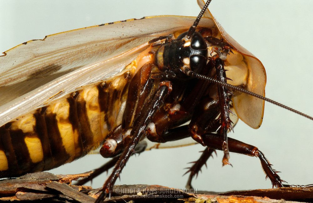 Deu, Deutschland: Totenkopfschabe (Blaberus craniifer) reinigt ihren Körper | Deu, Germany: Death?s head cockroach (Blaberus craniifer) cleaning it's body  |