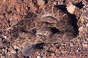A Western Diamondback Rattlesnake (Crotalus atrox) in the Sonoran Desert of southern Arizona, USA.