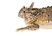 Studio portrait of a horned lizard (Phrynosoma cornutum) against a white background.