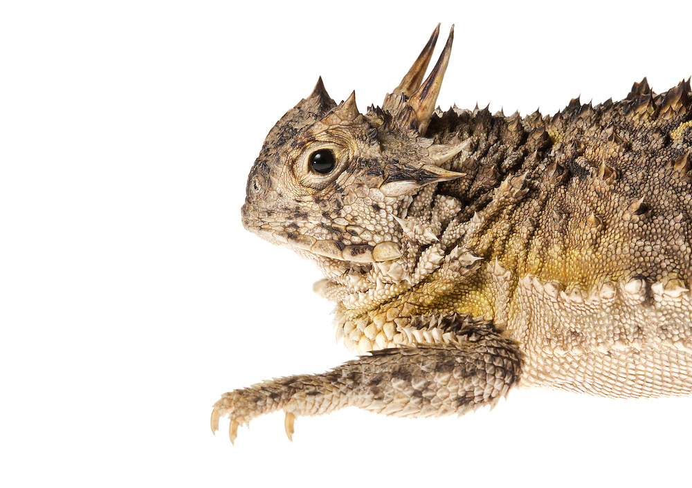 Studio portrait of a horned lizard (Phrynosoma cornutum) against a white background.